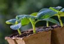 Рассада: растим и готовим к посадке