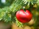 Christmas Tree Tomato Ornament Hanging from a Evergreen Branch Outside