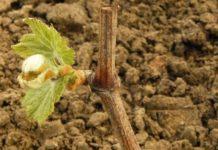 Привитые саженцы винограда: преимущества и недостатки