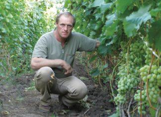 Виноград - одна из самых популярных культур в Украине