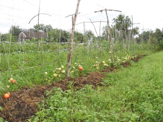 Как выращивать овощи на шпалерах