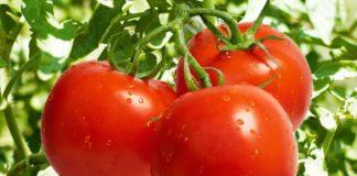 Особенности выращивания рассады томатов