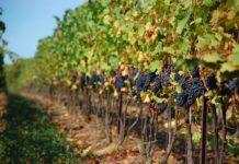 Создаем виноградник: от подготовки поля и почвы до посадки