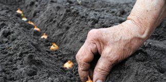 Лук: выбор сорта, подготовка семян, посев и посадка, уход, подкормка