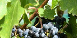 Виноград созрел. Можно убирать урожай