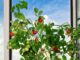 Комнатные томаты: правильно подобранные сорта, посев и уход