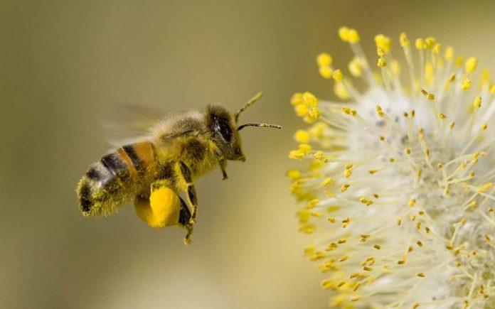 Какие пряные растения являются лучшими медоносами для пчел