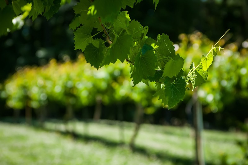 vinograd-zelenie-operazii