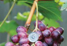 Популярные сорта винограда