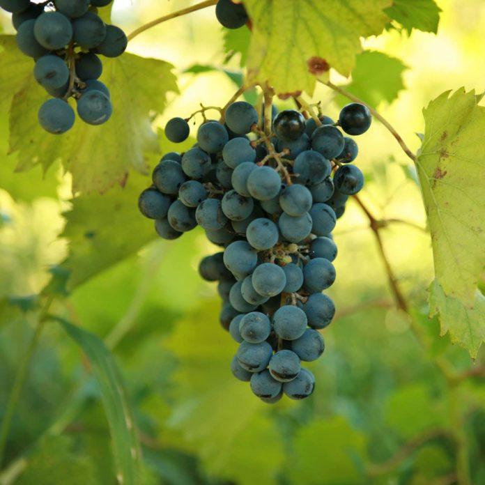Как выращивать саженцы винограда на подоконнике. Реальный опыт