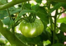 Безрассадный посев томатов