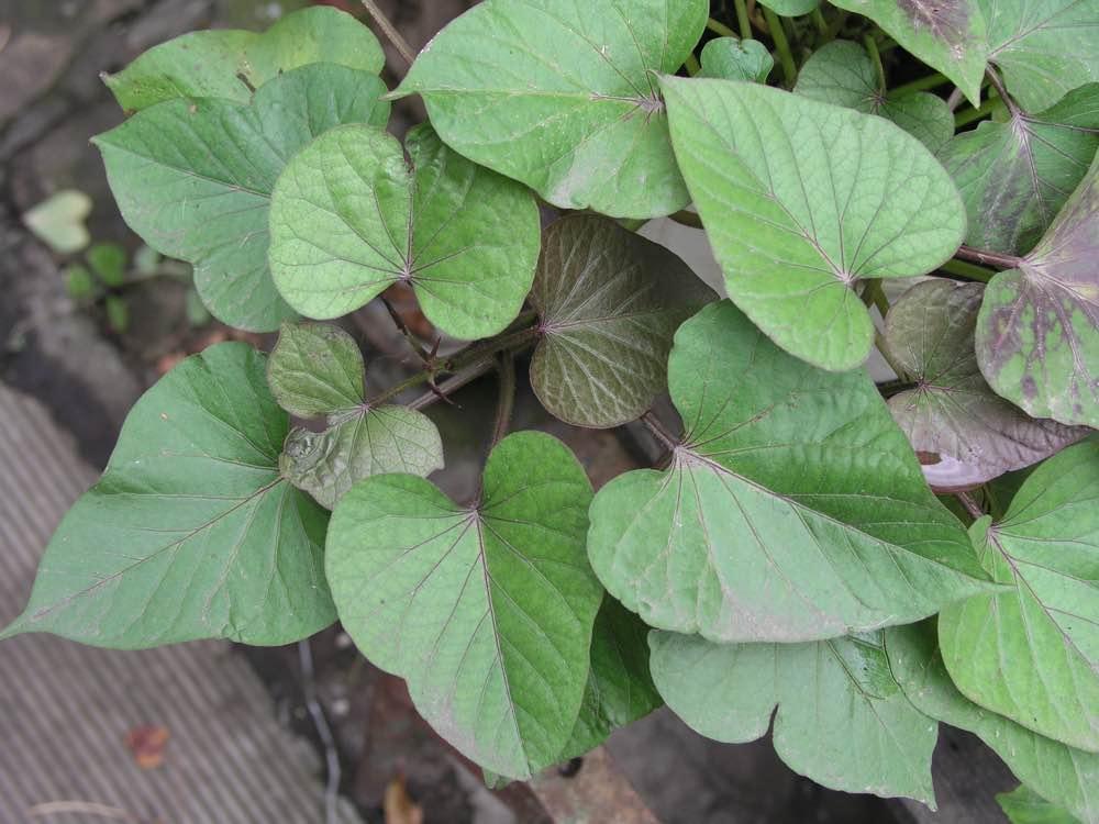 Листья батата
