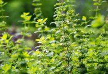 Рассада пряных трав и многолетних цветов