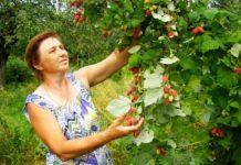 Почему ягодники болеют? Опыт садовода
