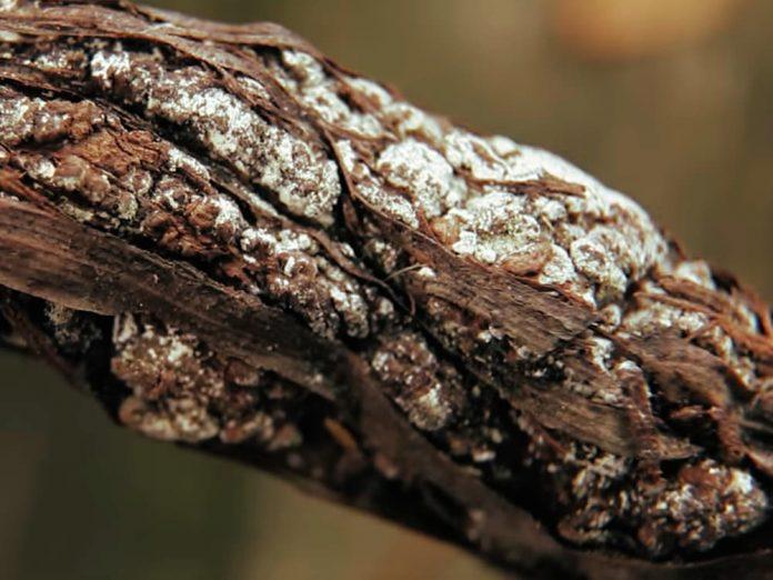 Бактериальный рак на винограднике