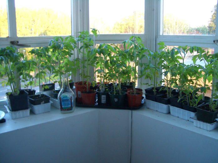 Проблемы с рассадой томатов