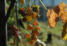 grapes_autumn