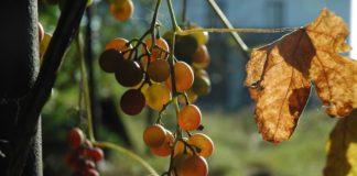 Виноград в октябре