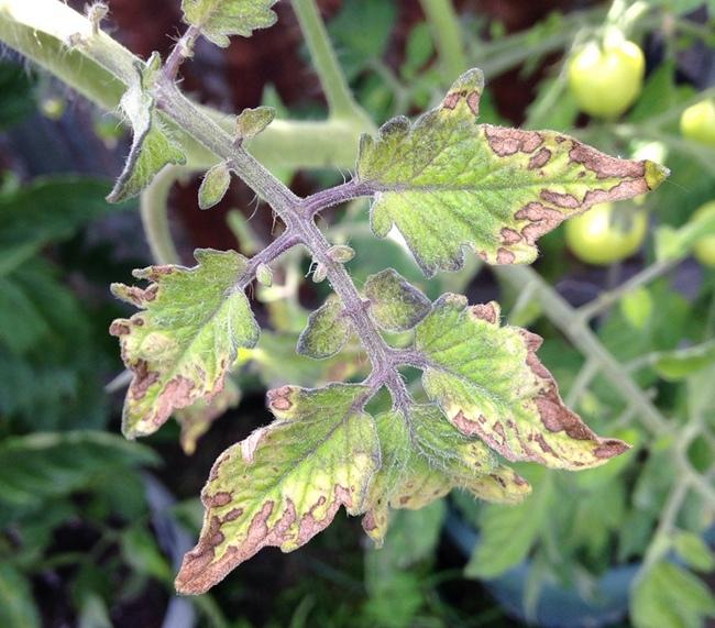 Засыхают стебли томатов