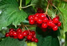 viburnum_red