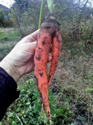 Почему морковь бывает корявой, волосатой, горькой или лопается?
