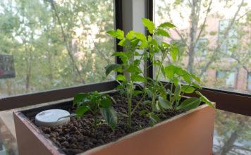 Комнатные томаты на подоконнике и балконе - сорта