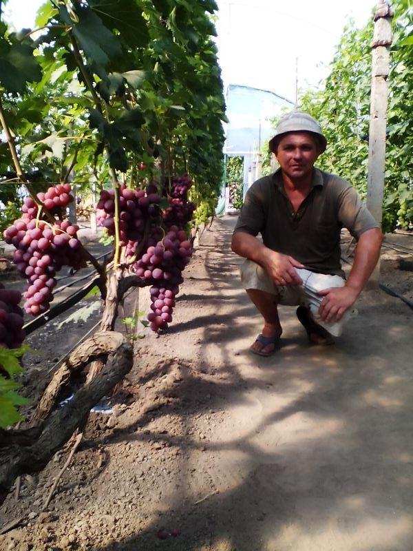 Виноград: теплица или открытый грунт