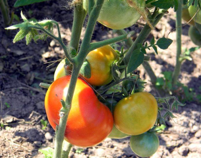 tomato_tomatoes