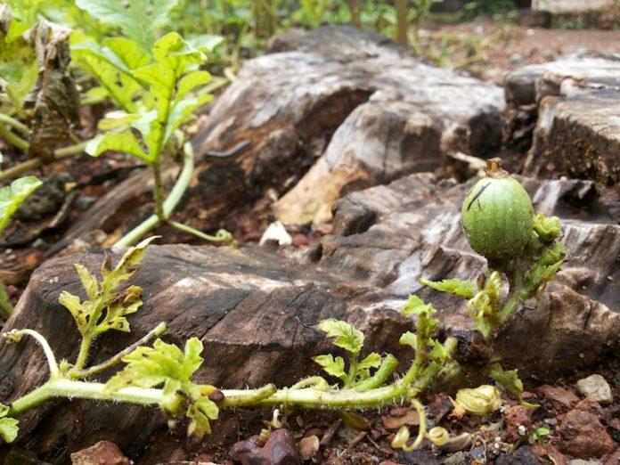 watermelon_plant