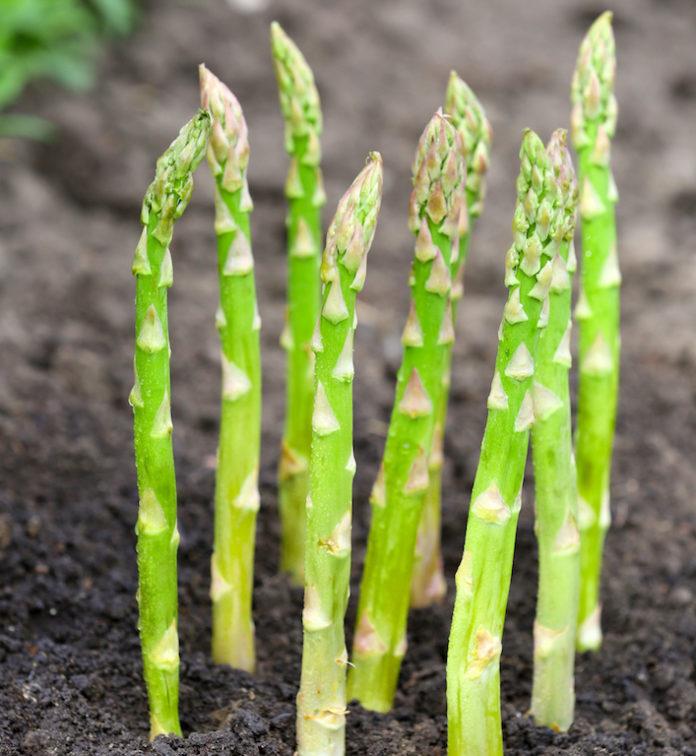 Спаржа - дорогой овощ. Биология, сорта, особенности выращивания