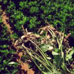 Фото собранного арахиса
