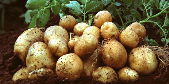 Скашивать ли ботву картофеля?