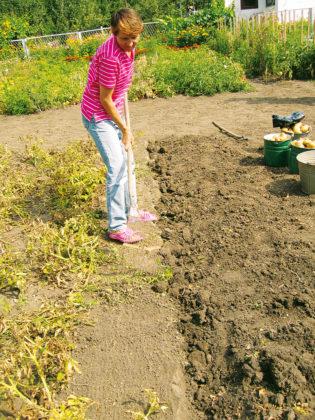 Выгрести граблями, но еще лучше пружинной метлой выполотые сорняки и вынести их за пределы огорода. И снова повторяется операция выкопки клубней