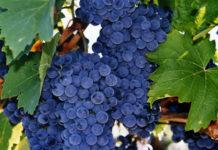 Работы на винограднике в июле