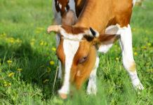 Здорова ли корова