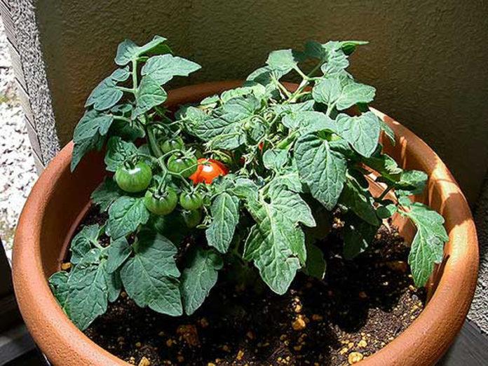 Великолепные сорта помидор, которые мы вырастили