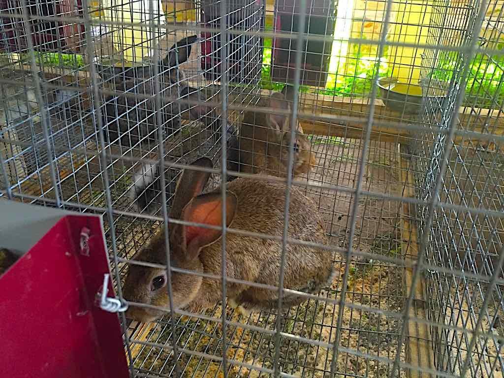 Выращивать кроликов выгодно и интересно