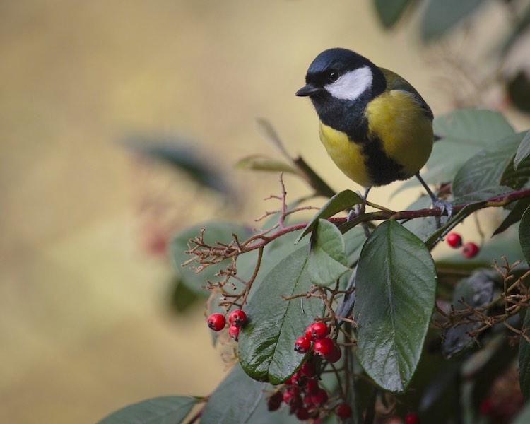 Птицы в саду, на рябине
