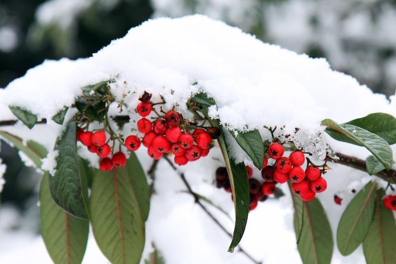 Декабрь снег рябина
