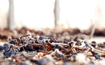 Виноградник мороз