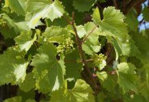 Июньский виноградник