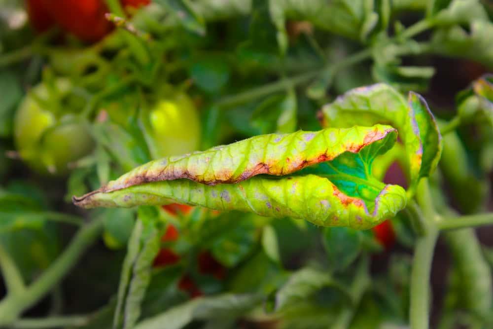 Закрученый томатный лист