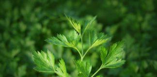 Петрушка растение