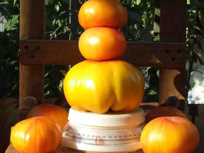 Диво-томати Грейпфрут