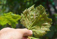 Филлоксера на виноградном листе