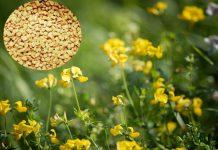 Пажитник и его семена