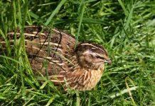Перепелка в траве
