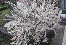 Абрикос 13 апреля в цветении
