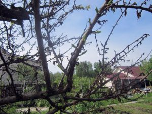 Тот же абрикос после цветения