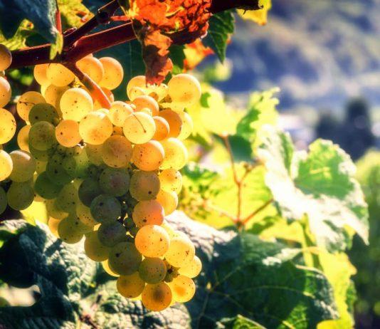 Виноградник в сентябре